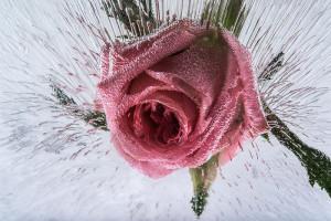 Art Effects - Rose-Bud